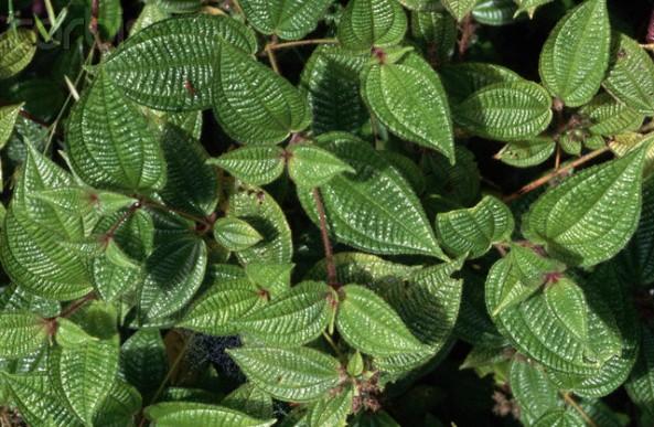 Leafy Climedia hireta Plant
